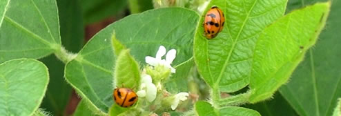 Soybean flowers & ladybirds